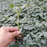 德宏番茄种苗厂 大红番茄苗嫁接基地